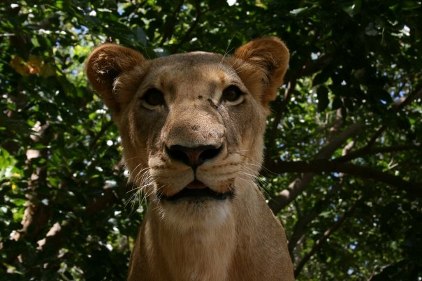 lion mauritius