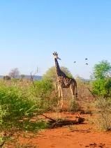 Giraffe Jaci's Lodge Safari South Africa