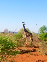 Giraffe Jaci's Lodge Safari South Africa