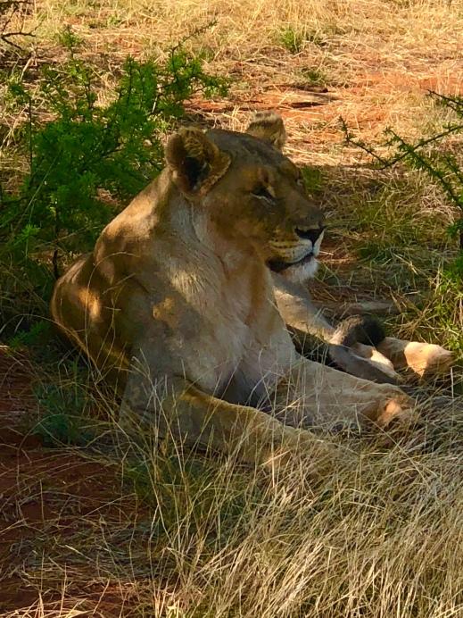 Lion Jaci's Lodge Safari South Africa