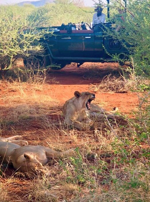Lion Yawns - Madikwe - South Africa