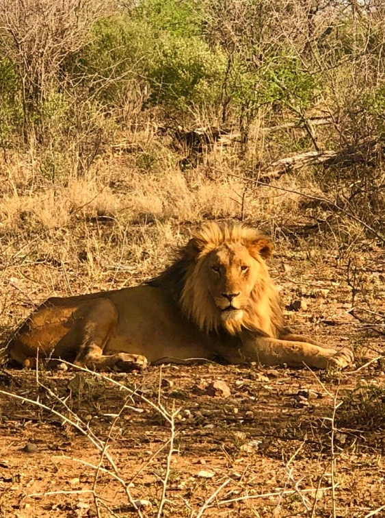 Lion Male - South Africa - Madikwe